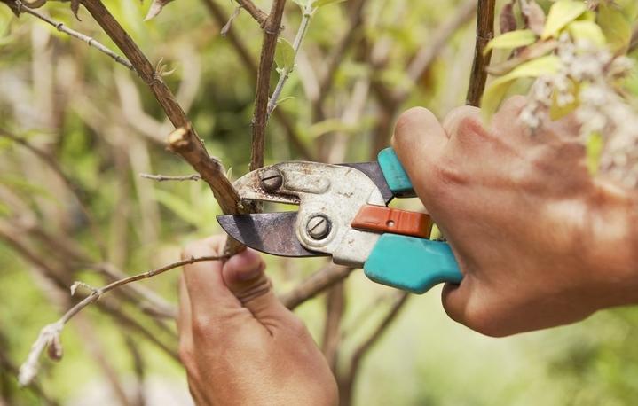 Омоложение деревьев–быстрый способ возродить плодоношение [1378]